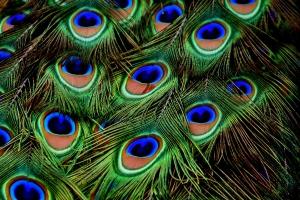 peacock 300x200 - peacock